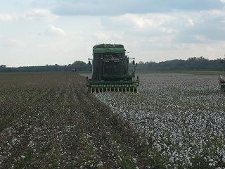 綿花の収穫.jpg